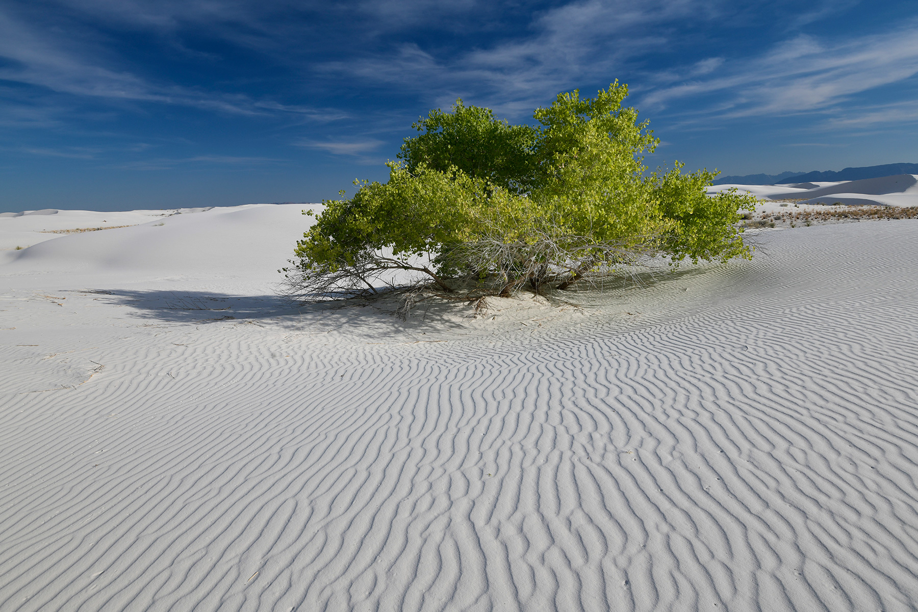 White Sands National Park (Nouveau Mexique, USA) -  Arbre  isolé au milieu des dunes de sable blanc de gypse