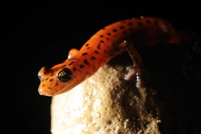 Blue Spring Cave (Tennessee). Salamandre.(SPE 09-0472)