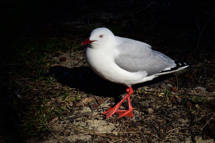 Huskisson (new South Wales, Australie) - Mouette argentée (Silver Gull)(VO-17-0421)