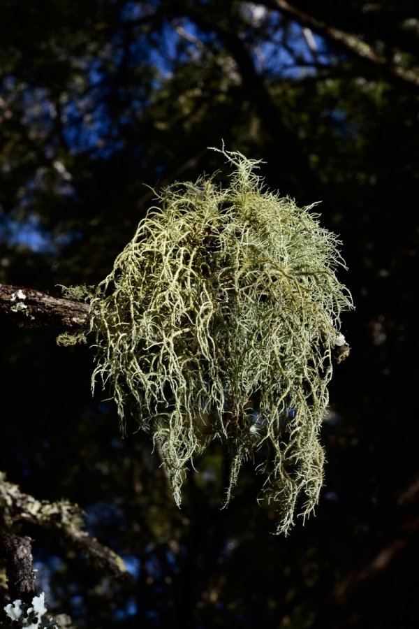 Blue Mountains National Park (New South Wales, Australie) - Forêt de Jenolan : lichen sur une branche(VO-17-0321)