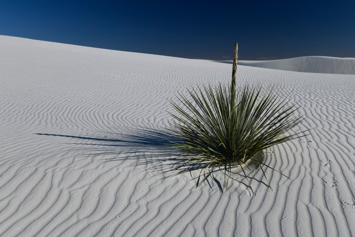 White Sands National Park (Nouveau Mexique, USA) - Yucca au milieu des dunes de sable blanc de gypse(VO-18-0235)