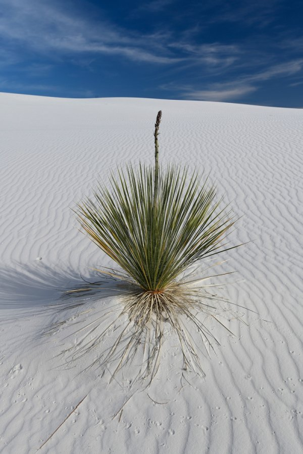 White Sands National Park (Nouveau Mexique, USA) - Yucca au milieu des dunes de sable blanc de gypse(VO-18-0347)