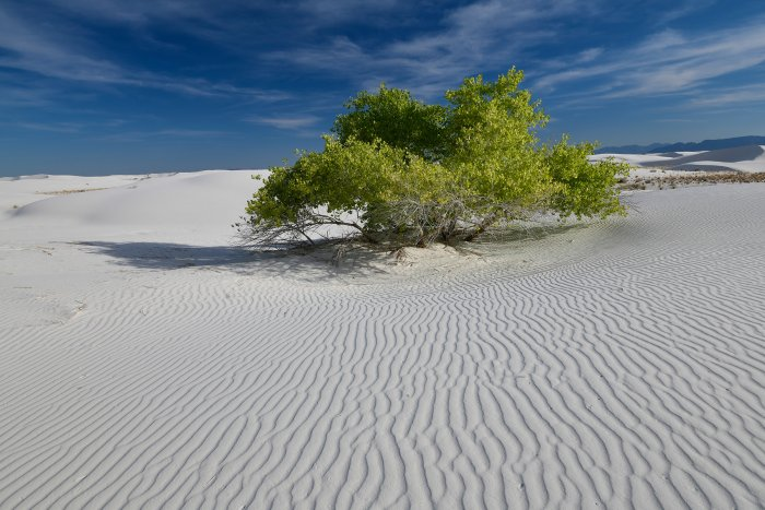 White Sands National Park (Nouveau Mexique, USA) -  Arbre  isolé au milieu des dunes de sable blanc de gypse (VO-18-0356)